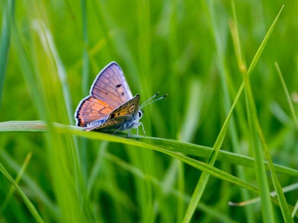 Minder vlinders door stikstofdepositie