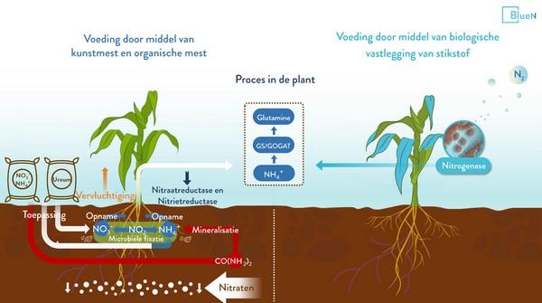 stikstofonderzoek nieuwe biobladmeststof maakt flinke reductie stikstof mogelijk